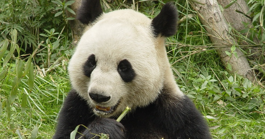 Will China's Panda Bear Market Chomp On Our Green Shoots?