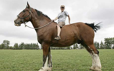 Poe, the world's tallest horse/ Photo from Barcroft Media